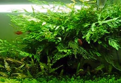 how to grow ferns in tank