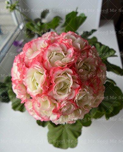 50pcs-geranium-seeds-apple-blossom-rosebud-pelargonium-perennial-flower-seeds-hardy-plant-bonsai-pot