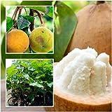 Santol Tree plant grafted Tall 22'' Sentul Sandoricum koetjape Fruit Tropical