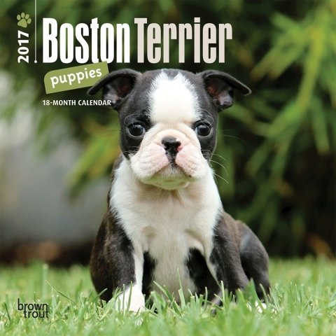2017 Boston Terrier Mini Calendar - 7 x 7 Wall Calendar