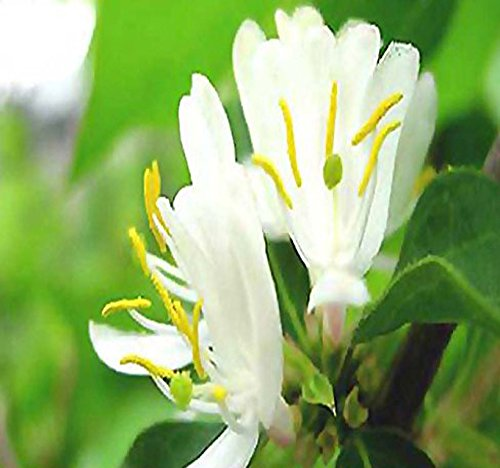 10 x Winter Honeysuckle Bush Seed, Fragrant Lonicera fragrantissima Seeds - FULL SUN TO PARTIAL SHADE - ZONES 4-9 - By MySeeds.Co