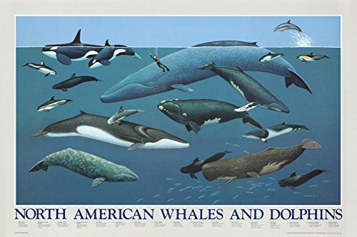 North American Whales and Dolphins Chart Poster Art Print