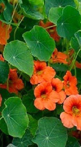 Il vous suffit de graines de fleurs???Capucine???saumon b