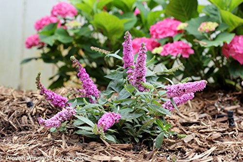 1 Gal. Lo & Behold 'Pink Micro Chip' Butterfly Bush (Buddleia) Live Shrub, Pink Flowers by Proven Winners (Image #1)
