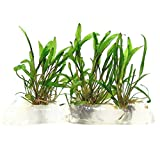 SubstrateSource Cryptcoryne wendtii 'Green' Live Aquarium Plant - Tissue Culture