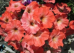 Petunias can tolerate relatively harsh conditions and hot climates.