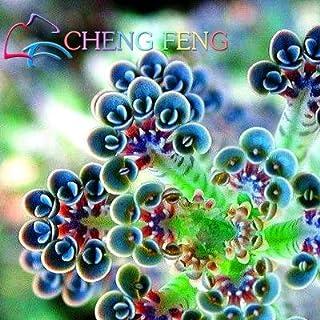 Pinkdose 100 piante grasse/pack piante Kalanchoe thyrsiflora esotiche e rare piante grasse xeriscaping mesembriantemi: verde