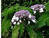 Hydrangea ASPERA 'SARGENTIANA' - Plant - 4 INCH Pot