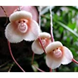 Exotic Plants Monkey face Orchid - Monkey face Orchid - 20 seeds