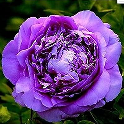 FD696 20 Seeds Chinese Purple Peony Flower Seed Beautiful Hot Flora Garden 20pcs : Garden & Outdoor
