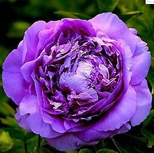 (FD696 20 Seeds Chinese Purple Peony Flower Seed Beautiful Hot Flora Garden 20pcs)