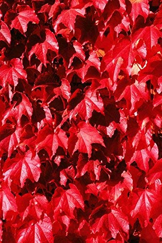 (Red Colored English Ivy Hedera Helix 25 Seeds Air Purification Plant)
