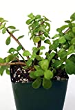 "Portulacaria afra Red Stem Live Plant - 2 (Two) Savvy Succulents Live Plants Fit 4"" Pot"