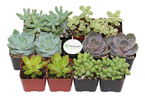 Shop Succulents Premium Succulent Collection product image