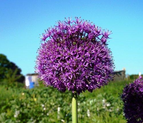 GARTHWAITE NURSERIES/® : Hollandicum Bulbs Summer Perennial Plant 90Cm High Massive Blooms 5 Allium Purple Sensation