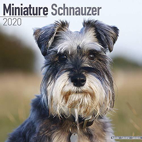 Schnauzer Miniature Calendar - Dog Breed Calendars - 2019 - 2020 Wall Calendars - 16 Month Wall Calendar by Avonside (Multilingual Edition)