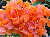 Bougainvillea Orange live plant