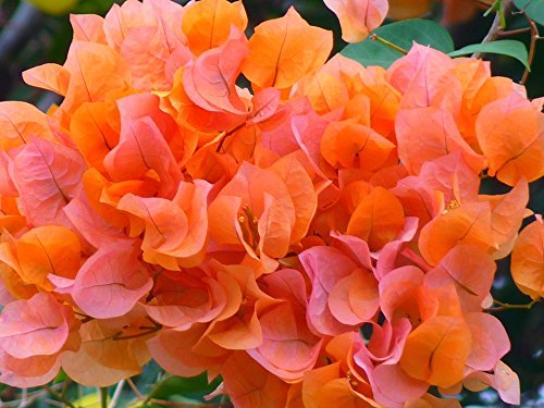 Bougainvillea Orange live plant by Inspired (Image #3)