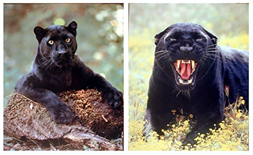 Wall Decor Picture Art Print Black Panther Big Cat Wild Animal Two Set Poster (8x10)