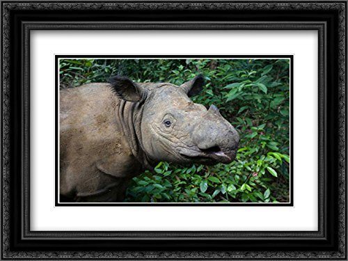 Sumatran Rhinoceros, Sumatran Rhino Sanctuary, Way Kambas National Park, Indonesia 2x Matted 24x18 Black Ornate Framed Art Print by Eszterhas, Suzi