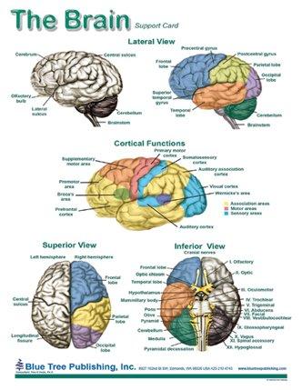 Brain Anatomical Chart Laminated Card, Neurology