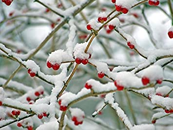 Image result for red berries in winter