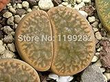 100% Genuine Lithops Hookeri Marginata C338 - 100 Seeds - Living Stones Mesemb Succulent Plant Seeds * Free Shipping