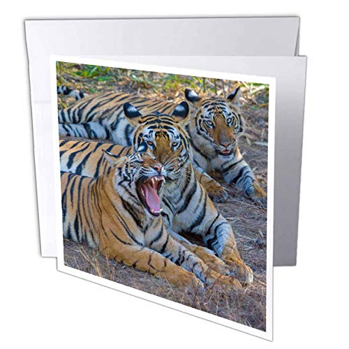 - 3dRose Danita Delimont - Tigers - Bengal Tigers, Bandhavgarh National Park, India - 6 Greeting Cards with envelopes (gc_312704_1)