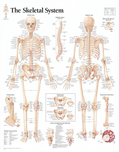 The Skeletal System chart: Wall Chart - Skeletal System Poster
