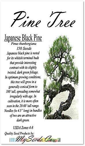 (Big Pack Bonsai Tree Seeds - Japanese Black Pine Tree (150 Seeds), Pinus thunbergiana Pine Tree Seeds - Non-GMO Seeds by MySeeds.Co (Big Pack - Japanese Black)