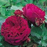 David Austin English Roses Falstaff