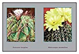 "Buyenlarge Ferocactus Latispinus - Gallery Wrapped 44""X66"" canvas Print., 44"" X 66"""""