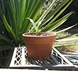 HIGH Germination Seeds:Agave Sisalana Sisal Cacti Succulent Real Live Seed - Includes A Pot