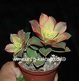 Aeonium decorum variegata 'Kiwi' 5 cm