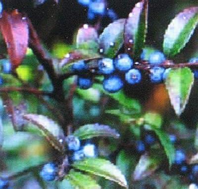 1000 Seeds Huckleberry Bulk Medicinal Healthful Sweet Fruit Seed Jbman