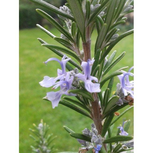 ROSEMARY - Pure Essential Oil - 1 Oz ()