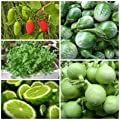 Organic Seed Bottle Gourd, Coriander, Ivy gourd, Kaffir Lime, Round Eggplant (Non GMO) by Preecha Store.