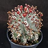 1 Starter Plant of Euphorbia Horrida Hybrid