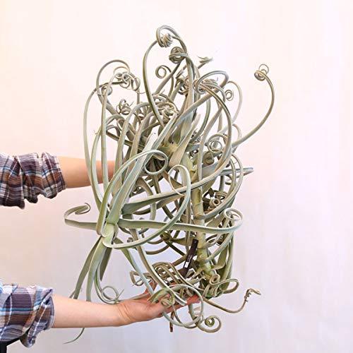 観葉植物:チランジア ドゥラティ XLL*エアープランツ 現品限り B07KC2MKMJ