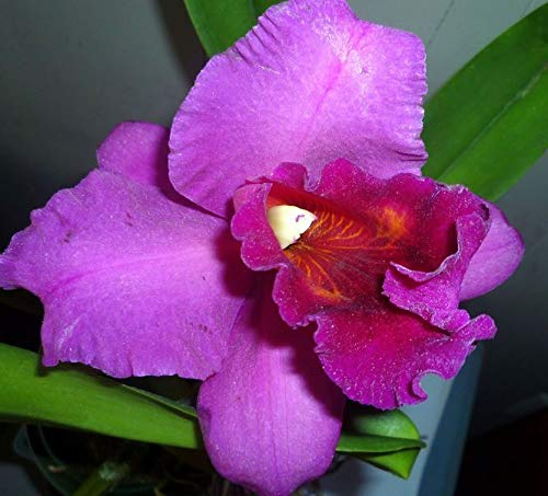 Hawaiian Cattleya Orchid Starter Plant - 6 - 10 Inches Tall, Planted in 2 Inch Pot - no Bloom - Discount HawaiianGIft