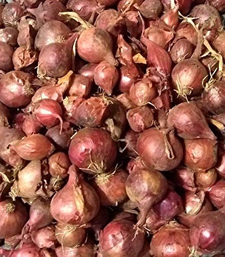 Shoppy Star SEMILLAS DE GERMINACION: Juegos de bombillas de cebolla roja otoño invierno - 45-50 ct. Listo para plantar...