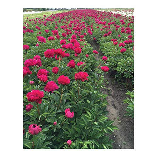 Burpee Perennial Peony 'Lady in Red' - 1 Bare Root Plant by Burpee (Image #1)