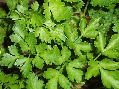 Parsley, Italian Flat-leaf - Herb Seeds