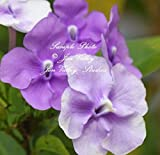 5 Seeds Brunfelsia pauciflora Floribunda Dwarf Plant Variety Yesterday Today and Tomorrow Seeds Tropical Flower 3 Colors One Plant