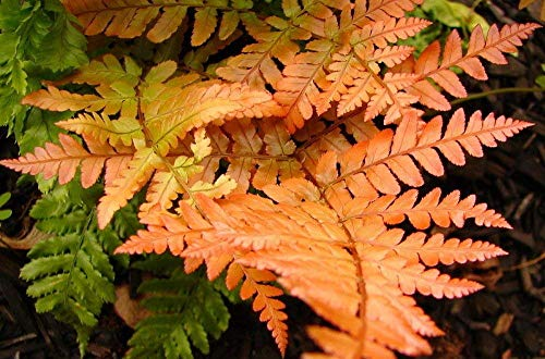 Autumn Fern (Dryopteris erythrosora) - Potted