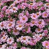 Aster dumosus 'Wood's Pink' Michaelmas Daisy