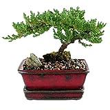 Bonsai Juniper Tree Best Bonsai Tree