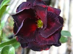 "100% auténticos ""RUCKNIRUN"" Semillas Adenium obesum - 5 semillas - Semillas de plantas de flor de Bonsai Desert Rose"