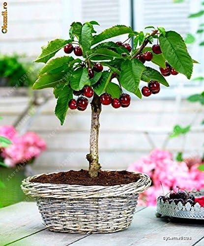 4 Kind Fruit Bonsai Fruit Tree Seeds Vegetable And Fruit Seeds Kiwi Cherry Apple Orange Total 100 Seeds Non Gmo Garden Plant 10 Cherry Seeds Amazon Co Uk Garden Outdoors