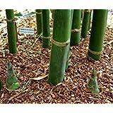 VISA STORE 100 Timber Semillas de Pata - busa oldhamii